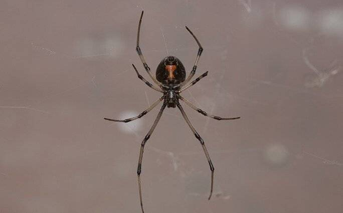 black widow spider crawling in a window