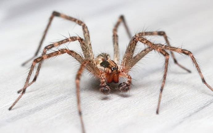 hobo spider crawling on a table