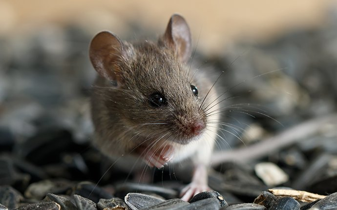 a mouse in sunflower seeds in idaho falls