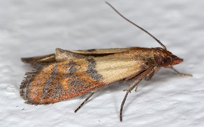 a moth in rexburg idaho