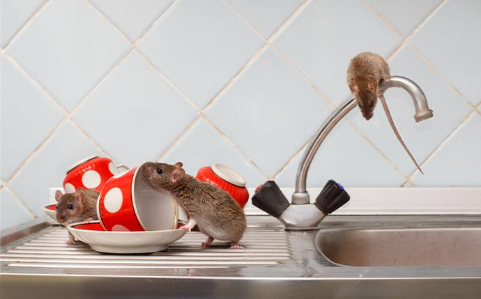 rodents on a sink in idaho falls