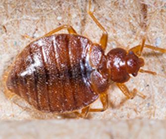 a bedbug on a boxspring in idaho falls
