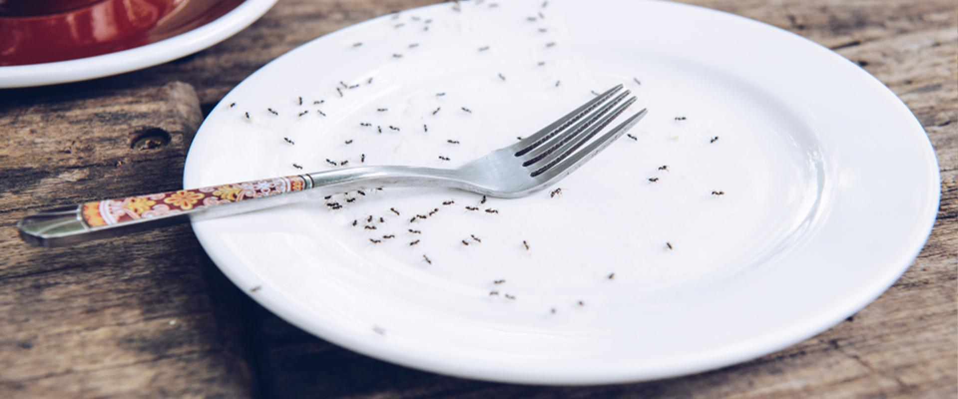 ants on a plate  in idaho falls
