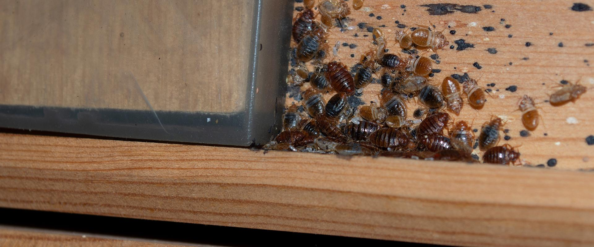 bedbugs on a bed baseboard in idaho falls
