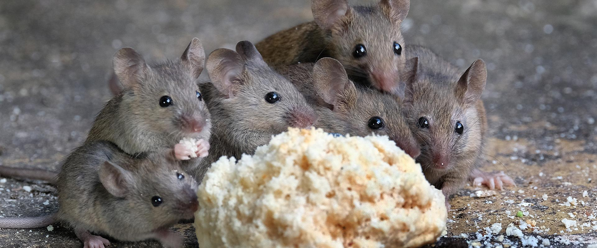 mice eating a biscuit in idaho falls