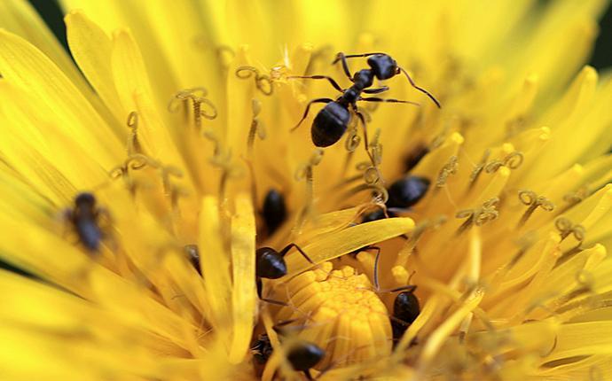 ants on a flower in idaho falls