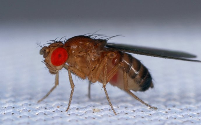 a fruit fly on fabric in idaho falls