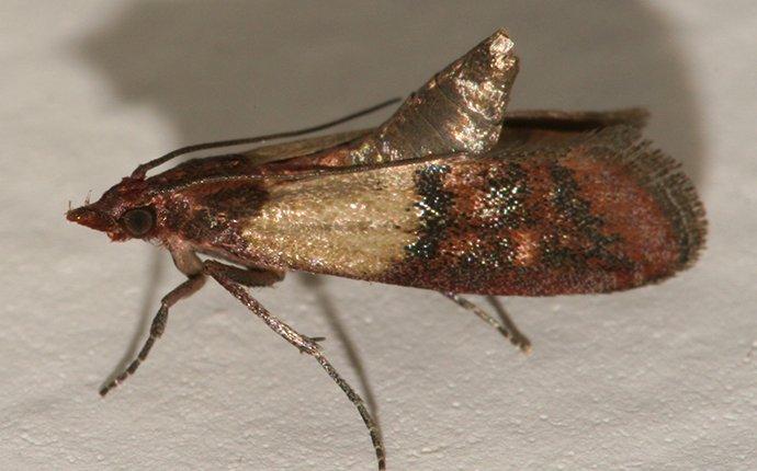 an indian meal moth in idaho falls