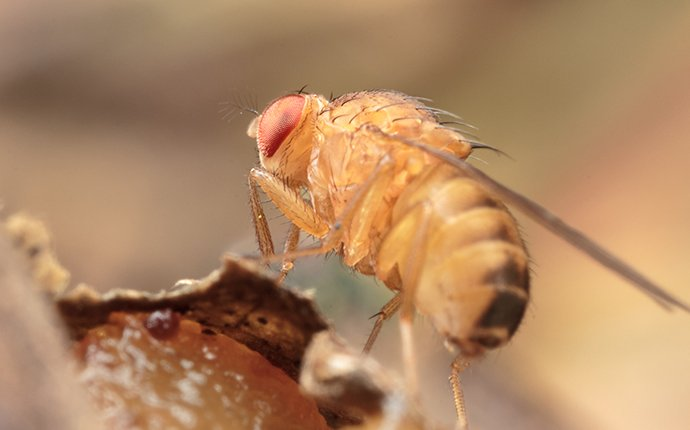 close up of a fruit fly in idaho falls