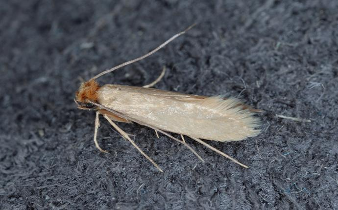 a clothes moth on fabric in idaho falls