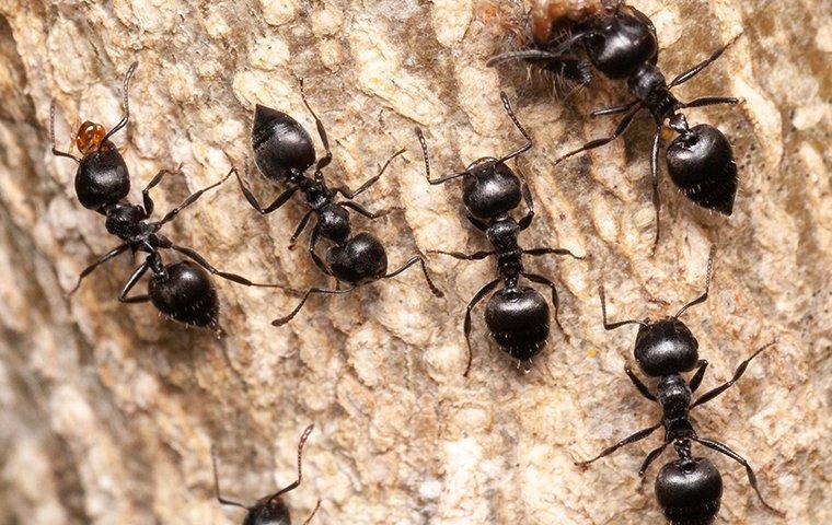 black ants on a tree