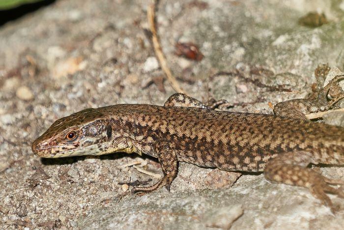 alligator lizard in california