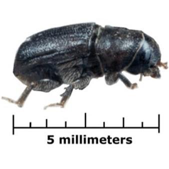 bark beetle identification