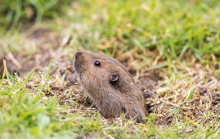 gopher with its head just out of the ground