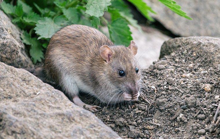 rat crawling on rocks