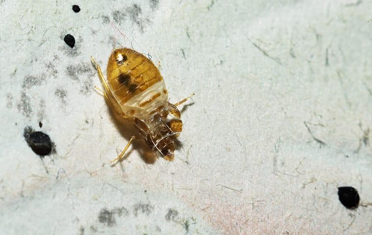 up close image of a bed bug infestation on a bed sheet