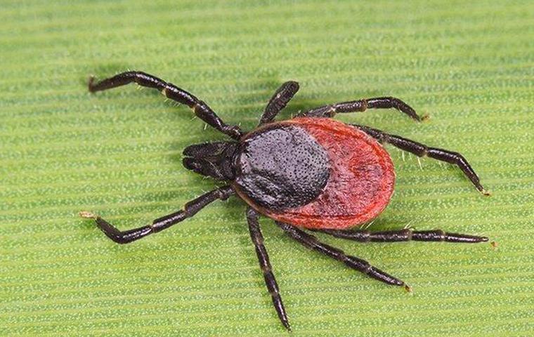 a dear tick crawling on a leaf