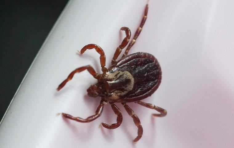 a tick crawling inside a home