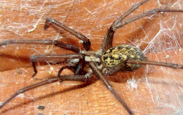up close image of a hobo spider in a web outside a home