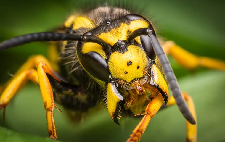 up close look at a yellow jacket in novato california