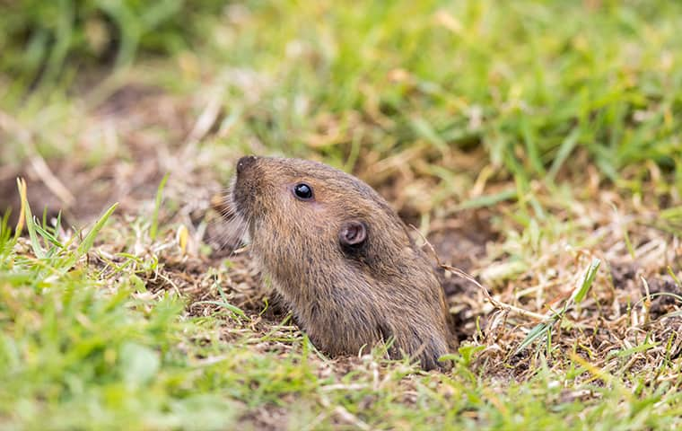 a pocket gopher emerging from a hole in a california bay area yard