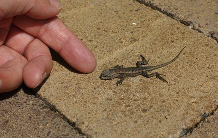how to get rid of lizards in home and yard