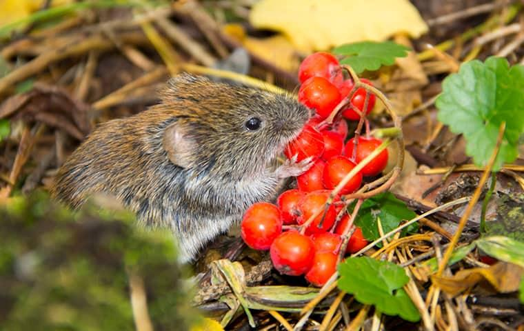 a small but very destructive medow vole chewing on cherry tomatoes in a vegetable garden on a california property