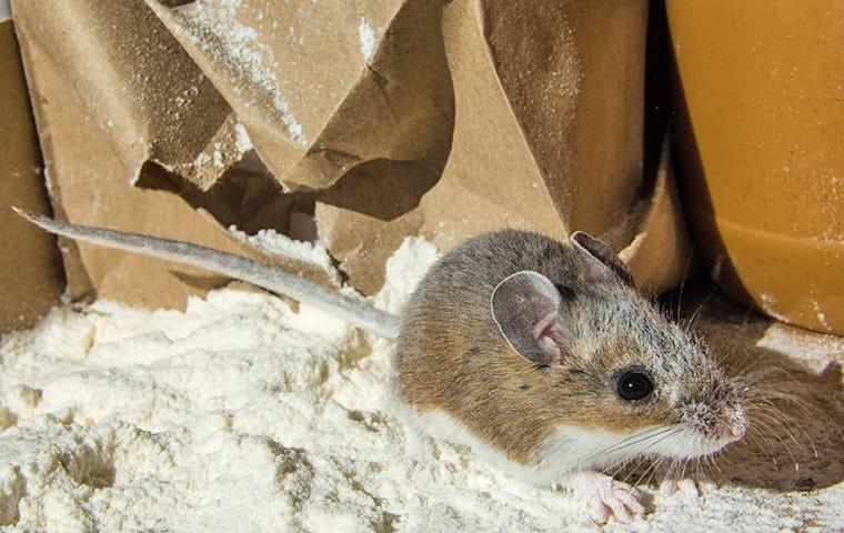 a house mouse has torn apart a sack of flower in an oakland food pantry