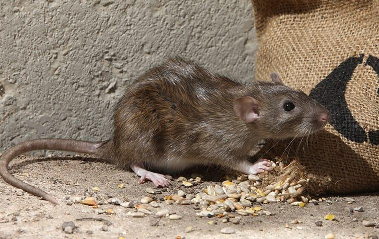 norway rat eating seed in oakland home