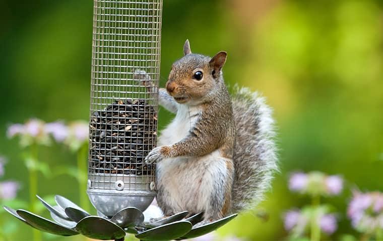 nuisance wildlife squirrel on a feeder
