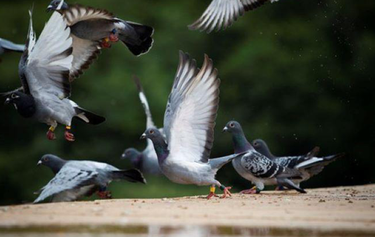 how to get rid of european starlings