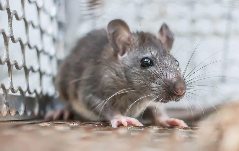 a rat in a home pest control trap