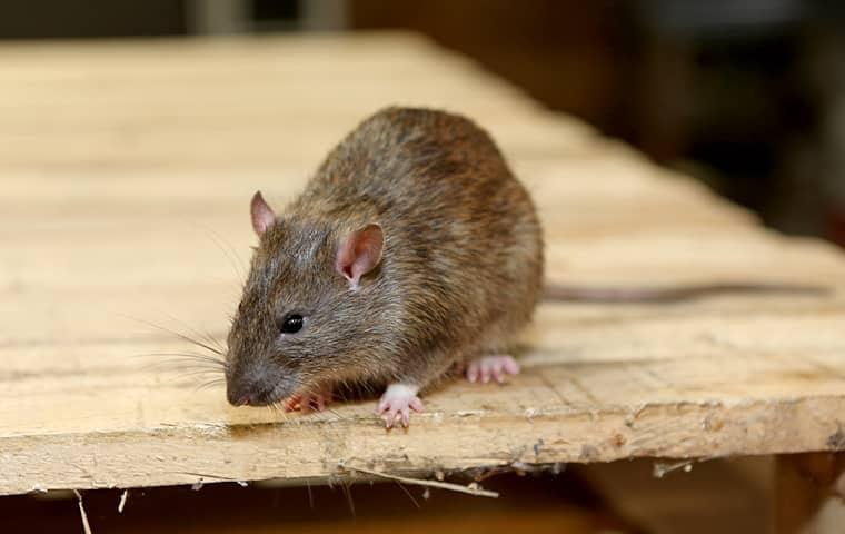 a small flea infested rat scurrying through a home in the san francisco bay area