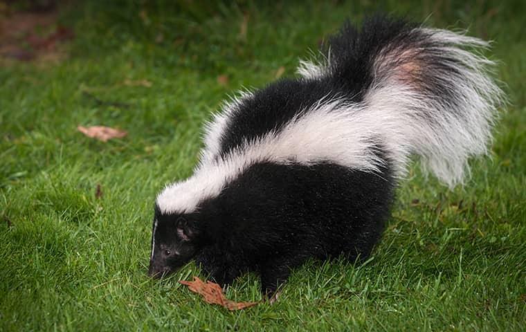 skunk walking in grass