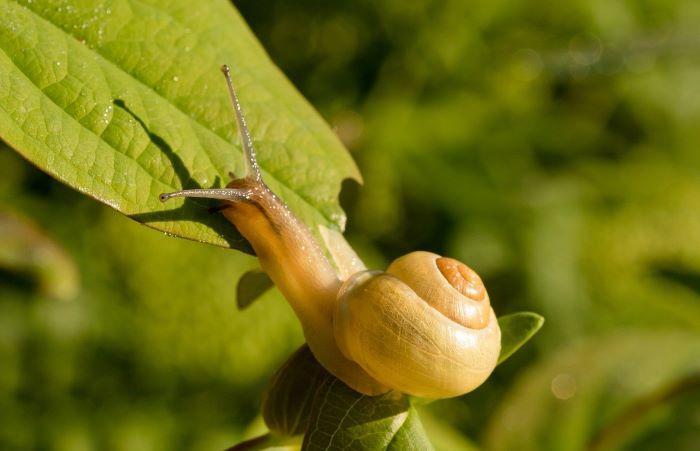 snail in garden pest
