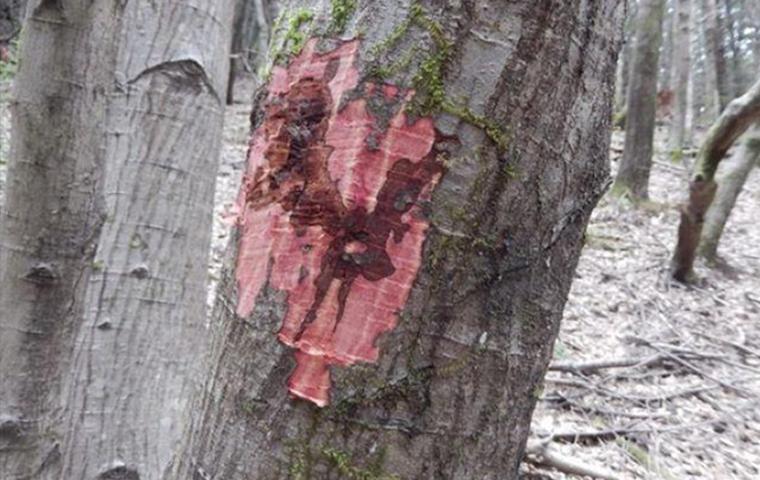 sudden oak death management