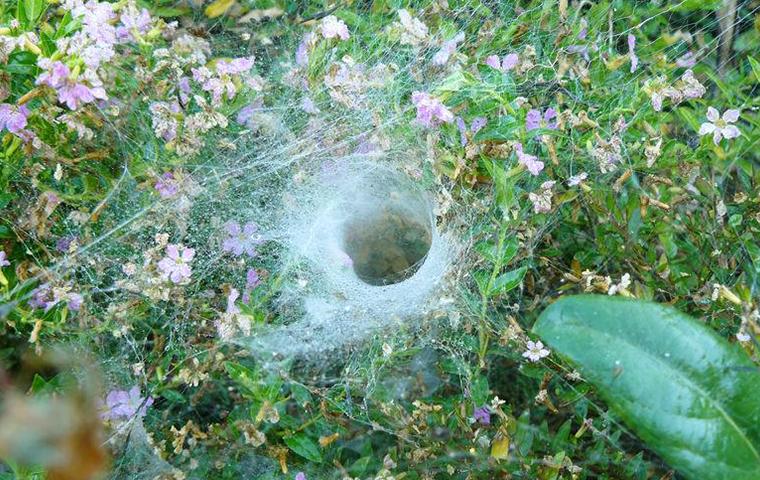 grass spider in yard