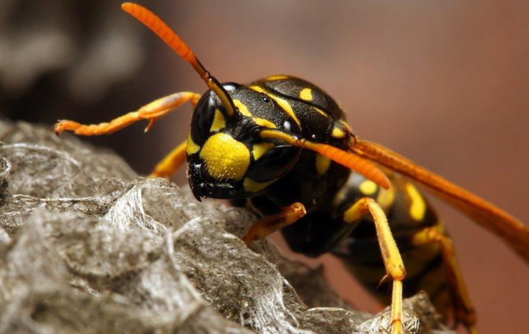 an up close image of a yellow jacket on its nest