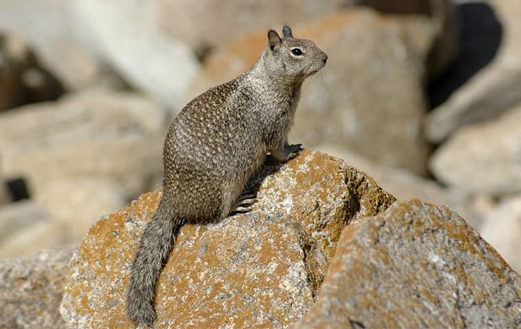 california ground squirrel on a rock