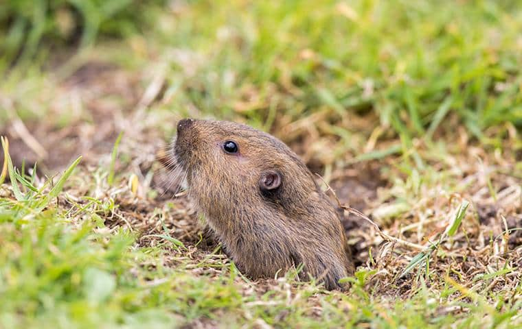 what california pocket gophers look like