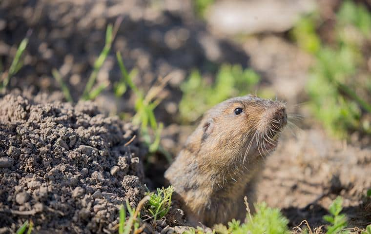 california pocket gopher coming out of hole
