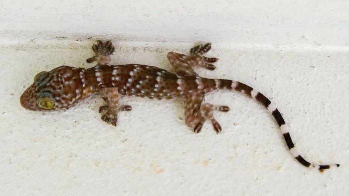 common house gecko in bathtub