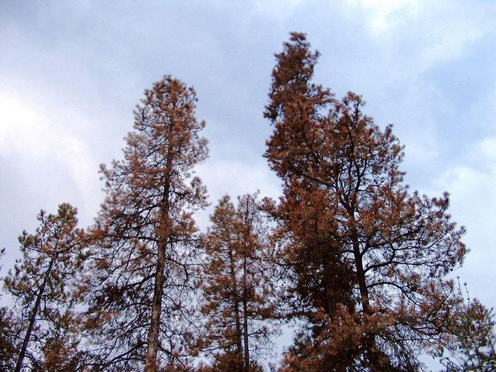 dying tree bark beetle