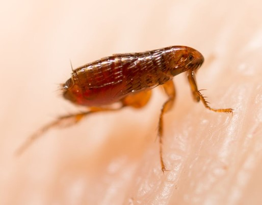 flea infected with bubonic plague