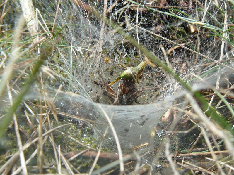 grass spider eating prey