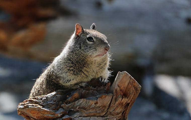 ground squirrel on a limb of a tree