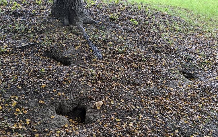 ground squirrel damage