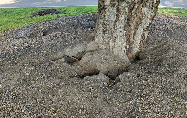 ground squirrel damage around tree in sonoma ca