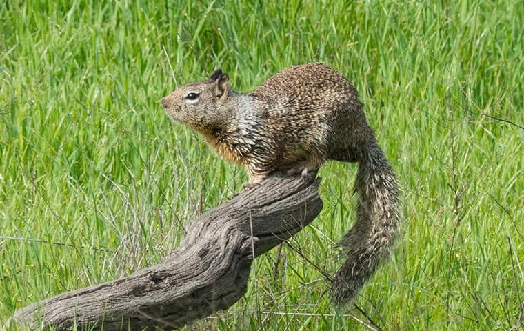 what a ground squirrel in santa clara and the bay area looks like
