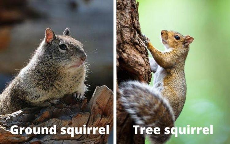 ground squirrel vs tree squirrel
